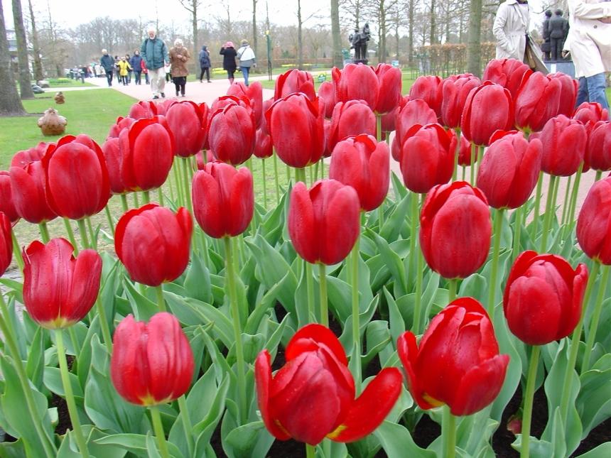 Keukenhof_tulip_02 red